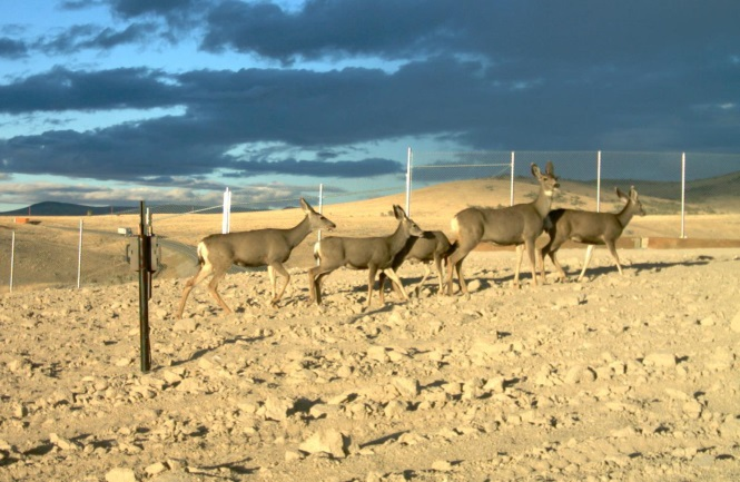 Effectiveness of Wildlife Crossing Structures to Minimize Traffic Collisions with Mule Deer and Other Wildlife in Nevada